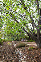 Drainage swale dry creek rain garden for water capture and  groundwater percolation in Southern California garden with Quercus lobata - Valley Oak, California native tree, demonstration garden by Western Municipal Water District, Riverside California