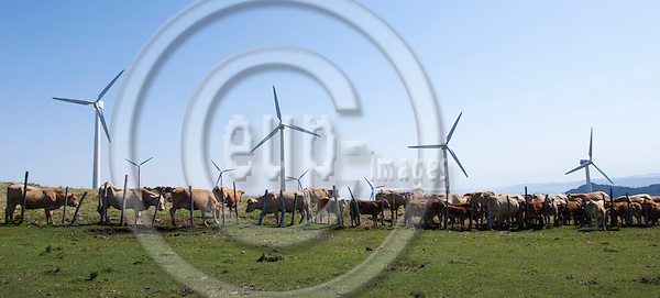 Cedeira-Galicia-Spain, August 15, 2009 -- Cows grazing, wind park / generators to transform renewable wind energy into electricity, in the Serra da Capelada -- industry, economy, agriculture -- Photo: Horst Wagner / eup-images