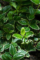 Vinca minor Ralph Shugert variegated foliage leaves