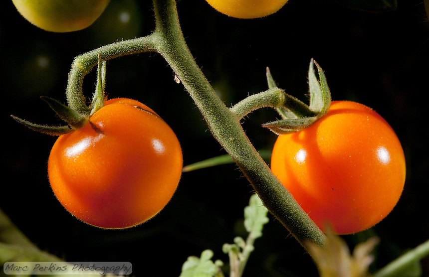 """The first fruit of the year in our garden: two deliciously orange cherry tomatoes still """"on the vine"""" (attached to the plant).  This plant is a """"sun sugar"""" variety of tomato (Solanum lycopersicum) that we purchased from Orange Coast College's ornamental horticulture department.  This picture was taken in the field using studio lighting (off camera flashes) to create a more dramatic look."""
