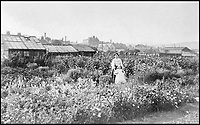 BNPS.co.uk (01202 558833)<br /> Pic: GardenMuseum/BNPS<br /> <br /> Flowers and glasshouses were common on Edwardian suburban allotment sites. <br /> <br /> These fascinating old pictures show that allotments have been a passion of the British for centuries.<br /> <br /> Today, more than 90,000 people are on waiting lists to get their own little patch of land to grow vegetables, and the pastime was just as popular in the early years of the 20th century.<br /> <br /> Garden historian and lecturer Twigs Way has sourced dozens of images of green-fingered Brits tending to their allotments during the 'allotment craze' amongst the middle classes sparked by the Allotments Act of 1908 which required councils to supply them when demanded.<br /> <br /> Families would decamp to the allotment on a Sunday and picnic among the cabbages, dividing tasks with the husband digging, the wife collecting crops and the children weeding or caterpillar picking.<br /> <br /> They grew cabbage, carrots, leeks, parsnips, beet, marrow and spinach while also staying faithful to the Victorian favourites seakale, salsify, scorzonera and asparagus.<br /> <br /> The allotments helped keep the British fed during the two world wars but fell out of favour in the 1960s and 1970s with elderly plot holders cast as villains in the battle to free up land for the housing boom.<br /> <br /> But, prompted by a desire amongst Brits to reconnect with the land, they are now in the throes of a full-scale revival.