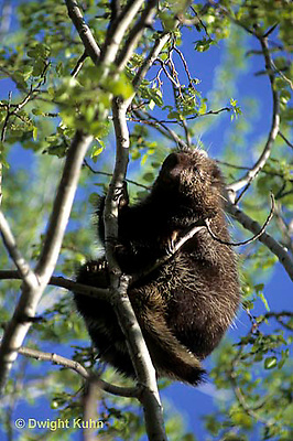 MA05-026z   Porcupine - in tree - Erethizon dorsatum