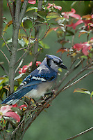 Blue Jay, cyanocitta cristatta, peers from blooming pink dogwood tree in spring, Midwest USA