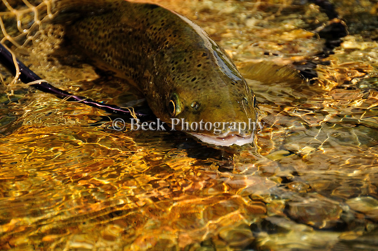 Brown Trout Release