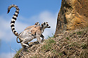 16/05/16<br /> <br /> &quot;Have a go at climbing up this rock now&quot;<br /> <br /> Three baby ring-tail lemurs began climbing lessons for the first time today. The four-week-old babies, born days apart from one another, were reluctant to leave their mothers&rsquo; backs to start with but after encouragement from their doting parents they were soon scaling rocks and trees in their enclosure. One of the youngsters even swung from a branch one-handed, at Peak Wildlife Park in the Staffordshire Peak District. The lesson was brief and the adorable babies soon returned to their mums for snacks and cuddles in the sunshine.<br /> All Rights Reserved F Stop Press Ltd +44 (0)1335 418365