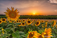 Sunflower field in Memphis.