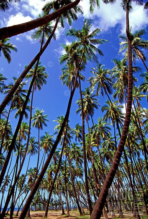 The grand Kapuaiwa Palm Grove just outside of Kaunakakai, Molokai on a clear bright day.