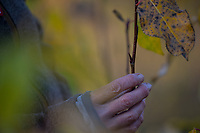 Ernte von Pappelknospen im Herbst für Räucherung, Räuchern, Balsampappel, Balsam-Pappel, Knospen, Knospe, Populus balsamifera, Populus tacamahaca, balsam poplar, bam, bamtree, eastern balsam-poplar, hackmatack, tacamahac poplar, bud, buds, tacamahaca, Le Peuplier baumier