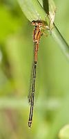 Eastern Forktail (Ischnura verticalis) Damselfly - Juvenile Female, Pharaoh Lake Wilderness Area, Ticonderoga, Essex County, New York