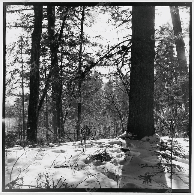 """During his re-education at the Liuhe May 7th Cadre School, Li Zhensheng photographed trees in the snow """"out of admiration for nature's vitality""""; Qing?an County, Heilongjiang Province, December 25, 1970"""