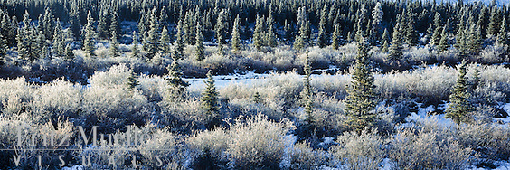 Hoarfrost decorates the boreal forest