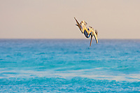 Brown pelican in vertical dive over blue sea