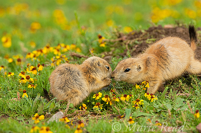 Black-tailed Prairie Dogs (Cynomys ludovicianus), two young animals interacting, Wichita Mountains National Wildlife Refuge, Oklahoma, USA