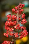 HEUCHERA SANGUINEA 'CORAL FOREST', CORAL BELLS