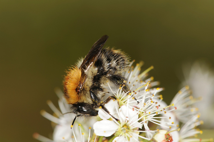 Common Carder Bee - Bombus pascuorum