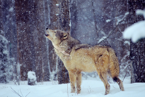 Gray wolf or Timber wolf (Canis lupus) howling.