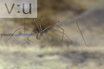 Daddy Longlegs Spider (Pholcus phanlangioides)