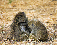 Olive baboons grooming in Tarangire National Park in northern Tanzania