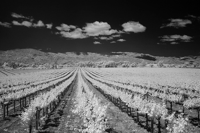 Infra red photo of Napa Valley vineyard