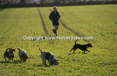 Hunting hare. Four Shires Bassett Hounds, Oxfordshire, England. Hunting with Hounds.
