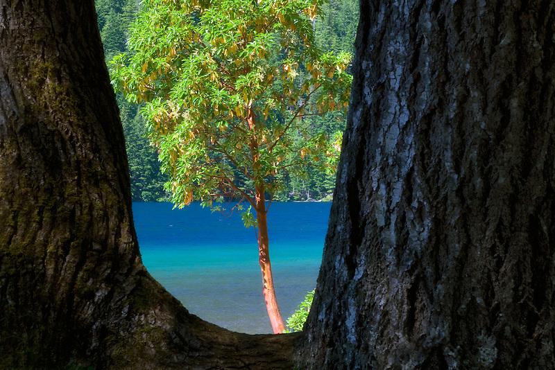 Madrone tree framed. Lake Crescent. Olympic National Park. Washington
