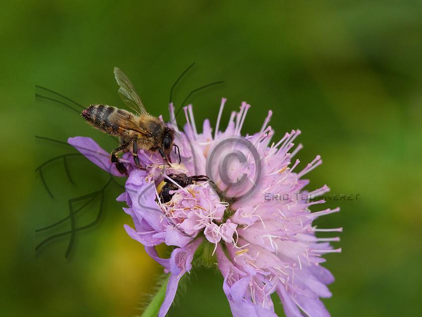 A bee encounters a Thomisidae hidden in a field scabious flower. Commonly called a crab spider, it hunts the bees on the flowers with a very particular technique. The spider grabs the bee with its legs, disorients it with rapid movements then sinks its fangs into the bee's thorax.<br /> Une abeille rencontre une araign&eacute;e thomise cach&eacute;e dans une fleur de scabieuse des champs. Surnomm&eacute;e araign&eacute;e crabe Thomisidae qui chasse les abeilles sur les fleurs avec une technique bien particuli&egrave;re. Elle attrape l&rsquo;abeille avec ses pattes, la d&eacute;soriente par des mouvements rapides puis plante ses crocs dans son thorax.