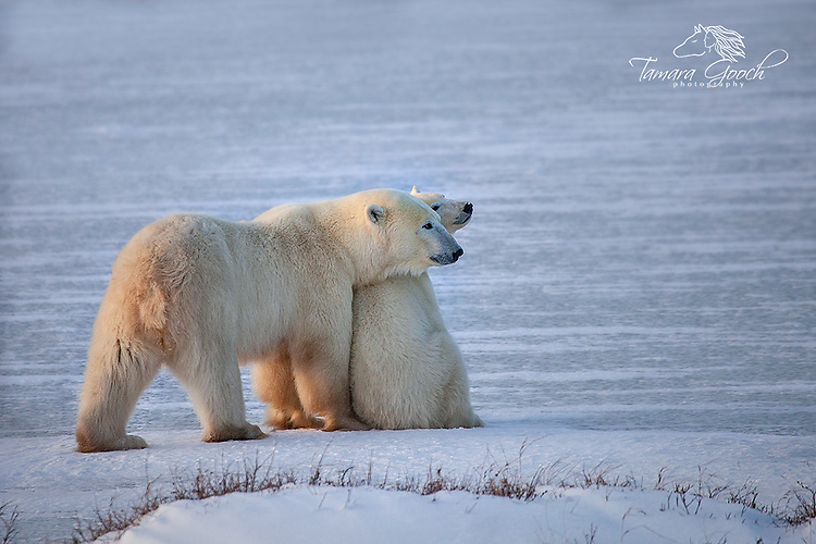 Polar bear and cub on ice fields