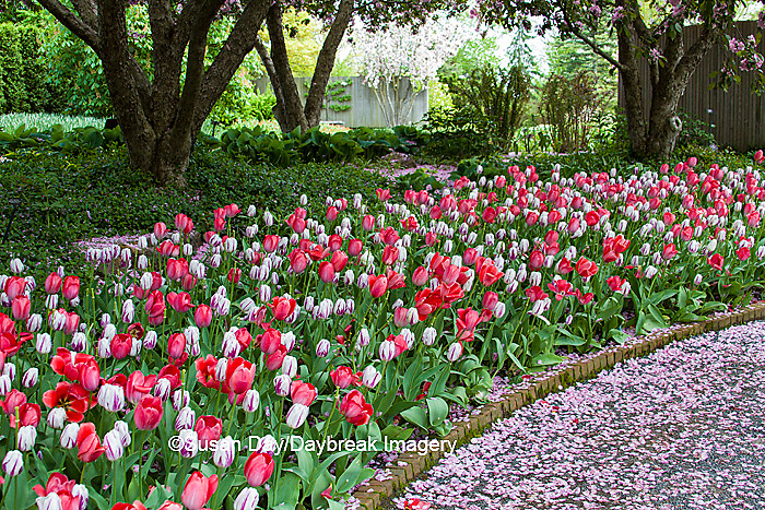 63821-22520 Walkway in spring with tulip border at Chicago Botanic Garden, Glencoe., IL