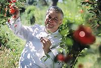 """Europe/France/Provence-Alpes-Côte d'Azur/04/Alpes de Haute Provence/Chateau Arnoux: Jany Gleize chef du restaurant """"La Bonne Etape"""" cueille les cerises dans son jardin"""