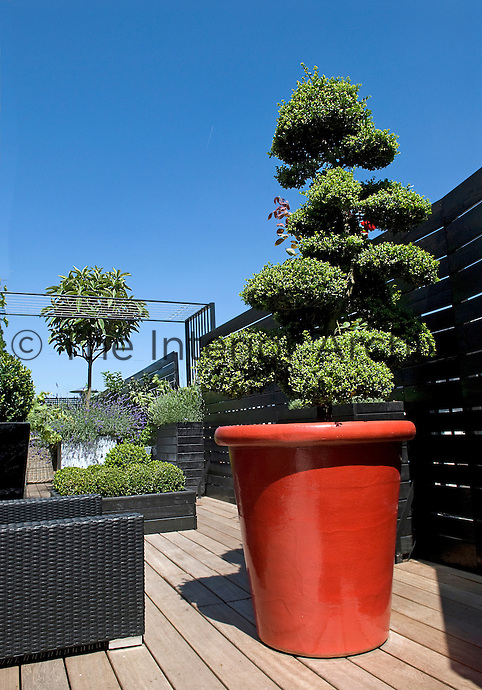 The architectural shape of this tree provides a living sculpture on the terrace