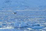 Inuit de Tassilaq revenant en bateau de la chasse au milieu des Icebergs. Groënland (côte Est). Région d'Angmagssalik (Ammasalik ou Tassilaq). Eskimos from Tassilaq on a boat on the middle of icebergs. Greenland (East coast).
