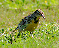 Adult eastern meadowlark in breeding plumage