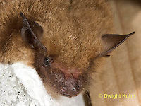 MA20-737z  Big Brown Bat close-up of face, eyes, ears and nose,  Eptesicus fuscus