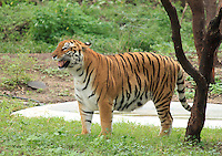 Indian Tiger glancing over standing near a tree