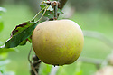 Apple 'Aromatic Russet', mid September. A English dessert apple that probably dates back to the 19th century.