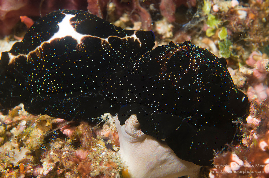 Anilao, Philippines; a pair of Egg Cowries (Ovula ovum), with their mantles fully engulfing their shells, mating on the coral reef
