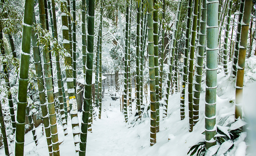 Bamboo in Snow - Tokyo`s heaviest snow in 46 years