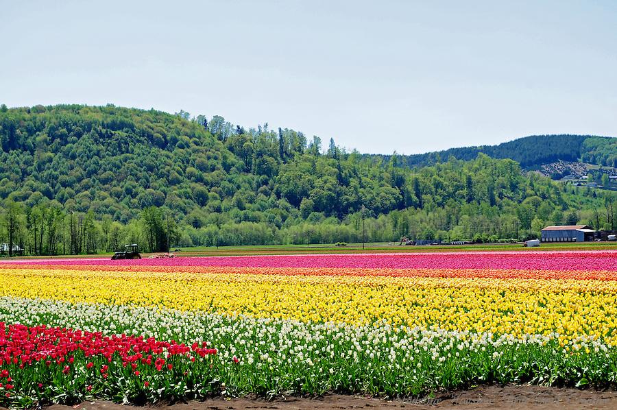 DeGoede Bulb Farm, Mossyrock, Washington, USA