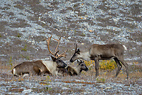 Woodland Caribou or forest-dwelling caribou, (Rangifer tarandus caribou) bull with two cows.  British Columbia.  Fall.