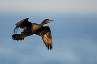Little Black Cormorant (Phalacrocorax sulcirostris) in flight on Kangaroo Island, South Australia, Australia.