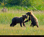 Alaskan Coastal Brown Bear Cubs Playing, Silver Salmon Creek, Lake Clark National Park, Alaska
