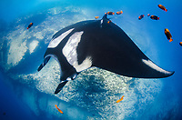 giant oceanic manta ray, Mobula birostris, formerly Manta birostris, at the Boiler, San Benedicto Island, Socorro, Revillagigedo Islands, or Revillagigedo Archipelago, Mexico, Pacific Ocean