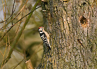 Lesser Spotted Woodpecker - Dendrocopus minor - male. L 14-15cm. Unobtrusive and easily overlooked. Sexes are separable with care. Adult male has black back and wings with white barring. Underparts are grubby white with dark streaking. Face is white and nape is black; black stripe runs from bill, around ear coverts to sides of breast. Note white-flecked red crown. Adult female and Juvenile are similar but with black crown. Voice Territorial male utters raptor-like piping call in spring. Drumming is rapid but rather faint. Status Local resident of deciduous woodland and parkland; often associated with alders