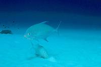 yellow-spotted trevally (jack), Carangoides orthogrammus, follows foraging goatfish to pick up scraps, Christmas Island, Kiribati (do)
