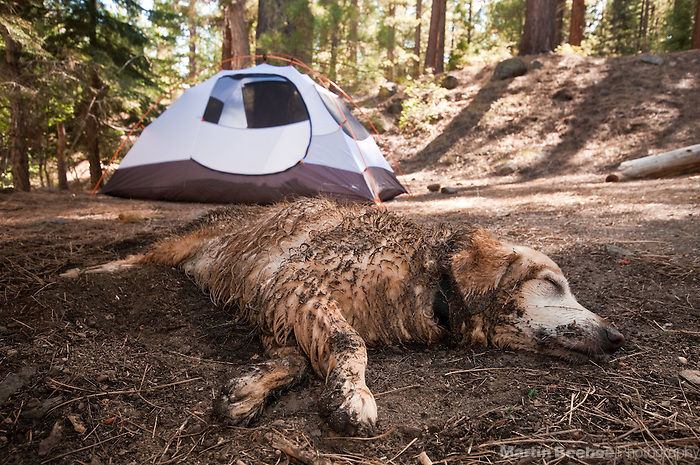 A muddy golden retriever takes a nap after playing, and before getting into a clean tent in Toiyabe National Forest, California