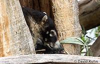 0717-1101  White-nosed Coati (Pizote, Antoon, Tej—n), Resting in a Tree Cavity, Racoon Family, Arizona, Nasua narica  © David Kuhn/Dwight Kuhn Photography