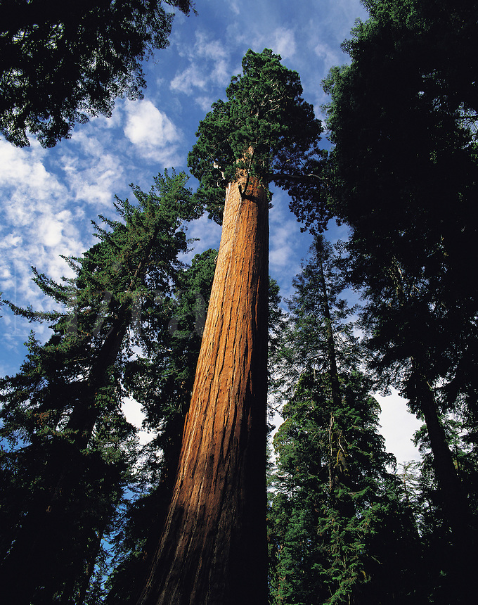 Low-angle shot of giant sequoia tree, King's Canyon National Park, California, US