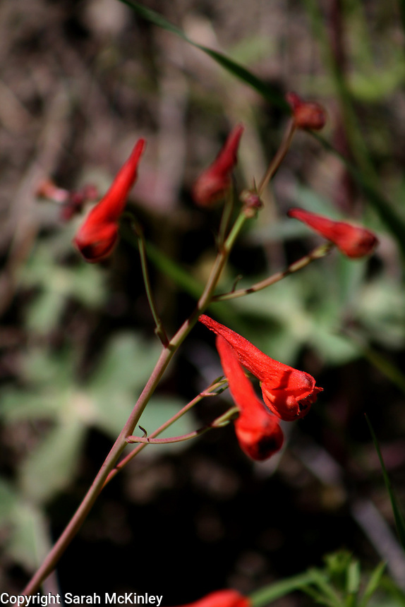 The red, pointed, cone-shaped blossoms of Cañon Delphinium growing along Muir Mill Road in Willits in Mendocino County in Northern California.