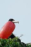 Male Magnificent Frigatebird (Fregata magnificens) with inflated throat pouch. Pacheca Island, Las Perlas Archipelago, Panama, Central America.
