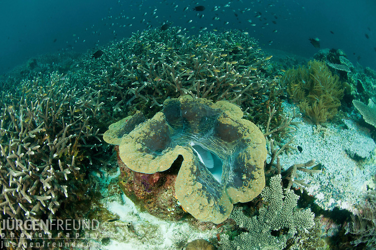 Giant clam (Tridacna gigas) in the reef.
